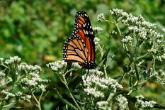 Monarch butterfly at Greenspur. (Photo by Bob Klips)